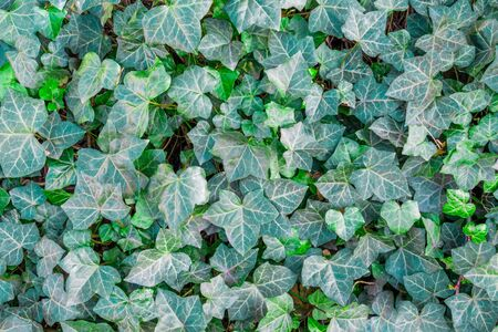 English ivy texture Hedera helix growing in the shadow of tree Stockfoto