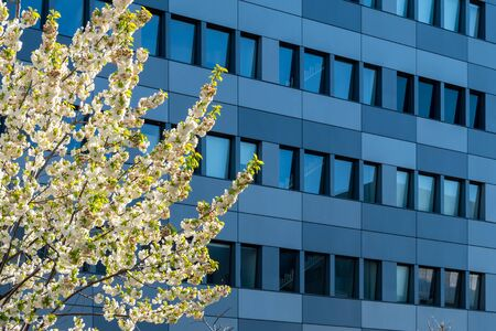 Modern facade front of modern business office building white blooming tree in front of a grey facade Stockfoto