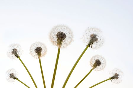 Dandelion Stock Photo - 7915178