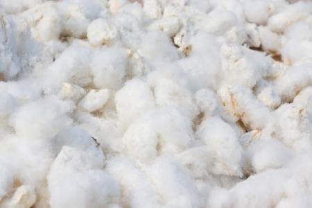 organic cotton: Cotton sfondo