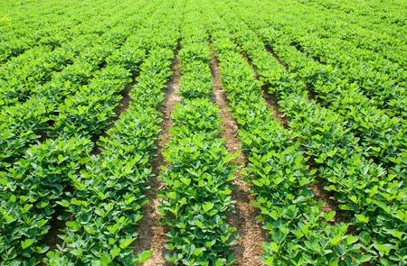 Peanuts fields