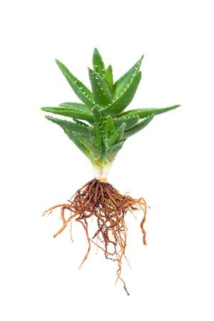 raices de plantas: El aloe vera