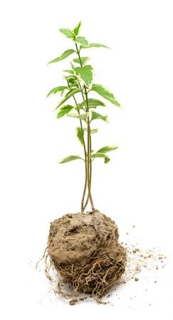 Plante verte poussent dans le sol Banque d'images