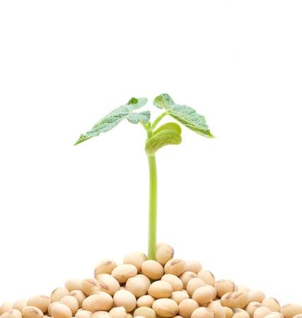 bean plant: Soja brotes aislados Foto de archivo