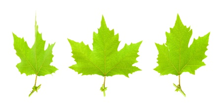 sycamore: Maple leaves isolated Stock Photo