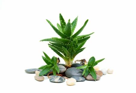 Aloe vera and stones photo