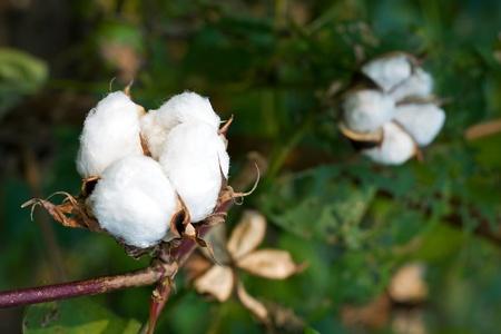 Cotton boll photo