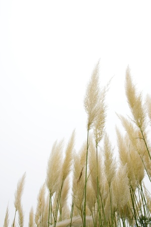Reeds