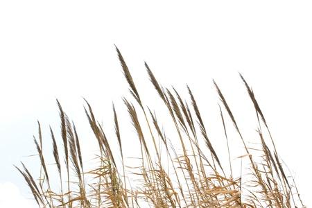Reeds photo