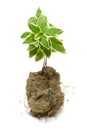Green plant grow in the soil Stock Photo - 13534049
