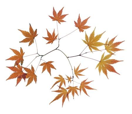 seasonal forest: Maple Leaf