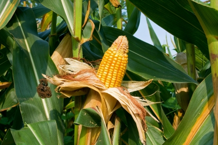 planta de maiz: Oreja de granos listos para la cosecha