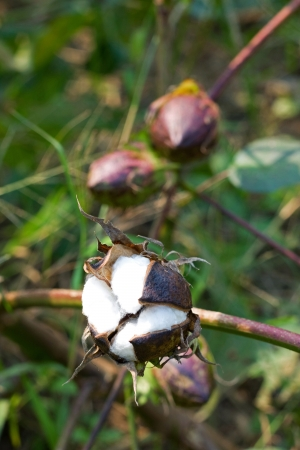 Cotton boll photo