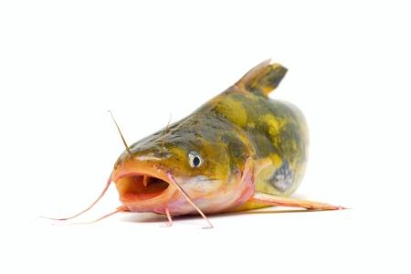 sheatfish: Bagre Foto de archivo