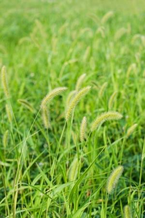 Setaria Stock Photo - 15092568