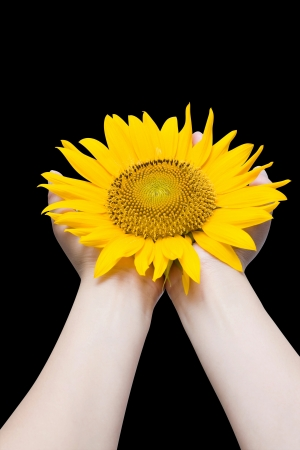 Holding sunflower  Stock Photo - 15454466