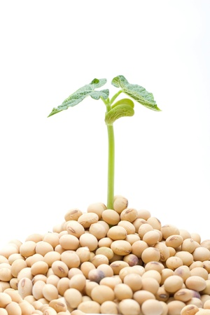 Soybean sprout isolated photo