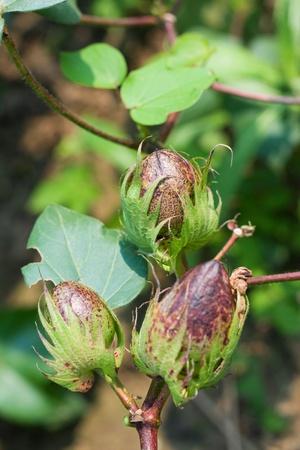 plant gossypium: Cotton field