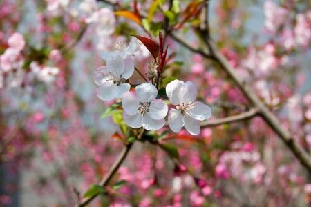 flor de durazno: Flor de durazno en la primavera