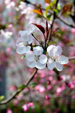 peach blossom: Peach blossom in spring Stock Photo