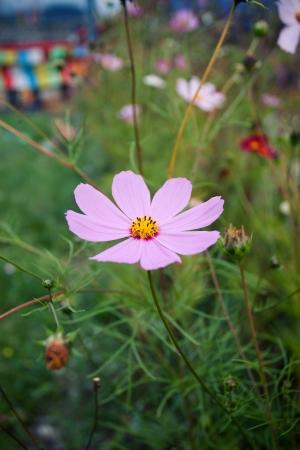 pink daisy: Pink daisy chamomile flowers field