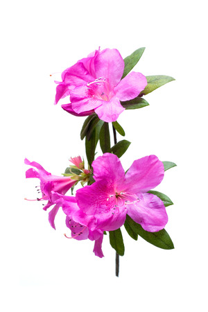 Azalea kwiat samodzielnie na białym tle
