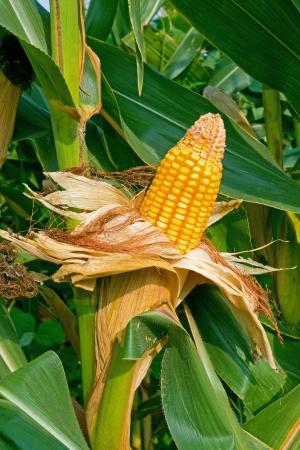 biofuel: Corn crop