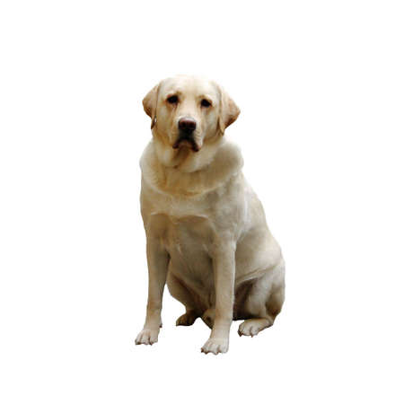 Sad looking sitting Labrador, isolated over white