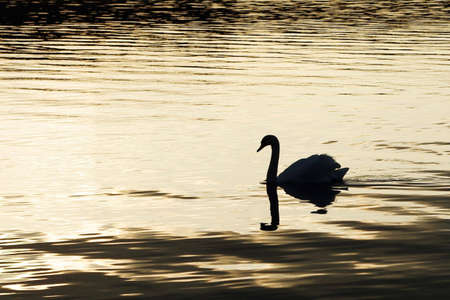 Swan silhouette on yellow water in sunset, swims to left