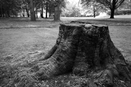 Old huge stump, blurred background, grayscale, high contrast