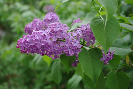 Colorful, bright and fresh lilac flower in the spring, close-up