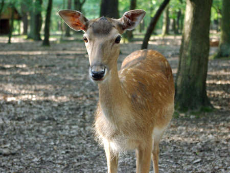 Young roe deer in the summer forest