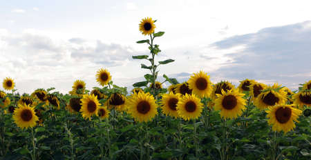 One sunflower breaks through the crowd Stock Photo - 5303183