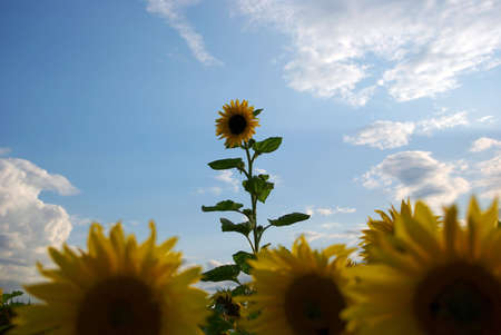 One sunflower breaks through the crowd Stock Photo - 5303106