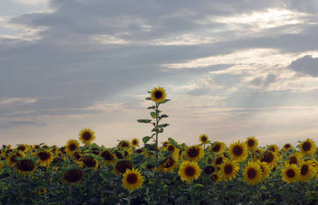 One sunflower breaks through the crowd in the sun rays Stock Photo - 5303184