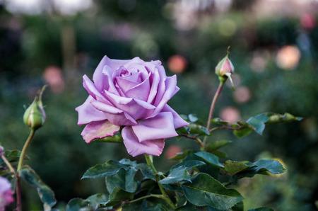 balboa: Purple rose in Balboa botanical garden in San Diego, CA, USA Stock Photo