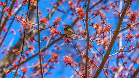 warbler: American yellow warbler sitting on blooming maple tree Stock Photo