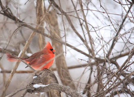 Big northern cardinal during a snowy day. photo