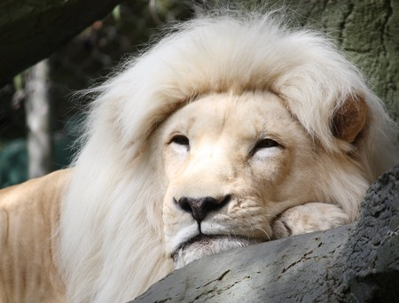 Magestic White Lion resting on a tree branch. photo