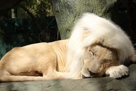 白いライオンは白いたてがみを持つツリーで寝ています。 写真素材 - 4829725