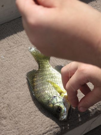 bluegill: Photogrpah of a bluegill with a hook in its mouth and a childs hand. Stock Photo