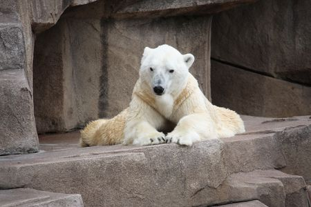 Photograph of a white Polar Bear laying down on his belly and resting