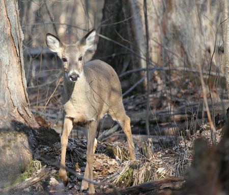Up close photo shot of a whitetail deer doe in the woods at the end of winter.   photo