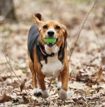 A beagle running away with a toy Easter egg in its mouth. photo