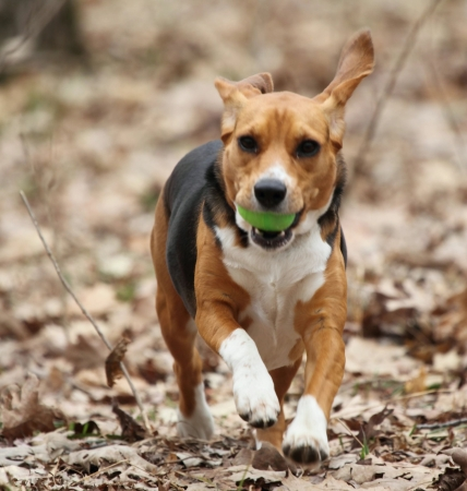 A beagle running through the woods with an Easter egg in her mouth.