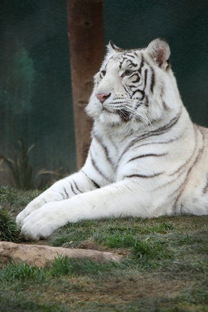 A white tiger laying in the grass at a park. photo