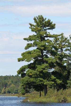 A huge majestic pine on a river shore.