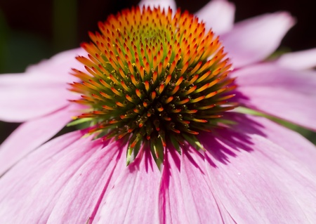 A close up macro shot of the center of a pink cone flower. photo