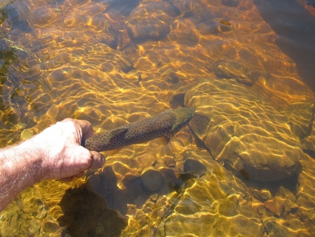 releasing: A mans hand releasing a brown trout back into a river with his hand on the tail after catching it.