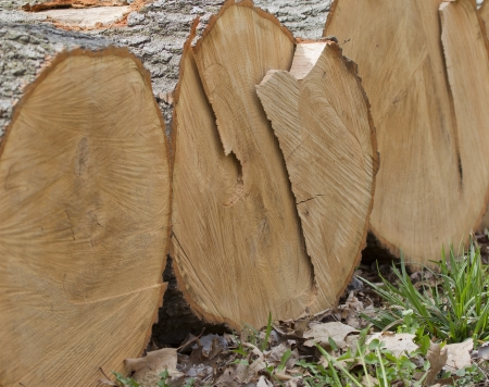 A stack of big white oak tree logs just cut up after a big thunderstorn. photo